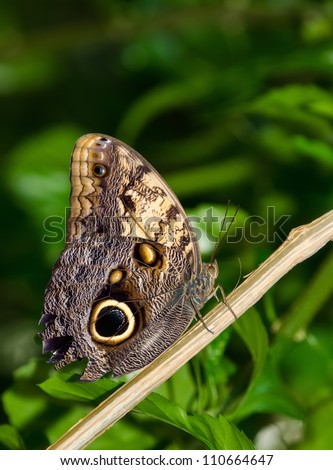 Owl butterfly (Caligo) is a large, tropical butterfly, named for eyespots on the underside of the lower wing. Natural green background.