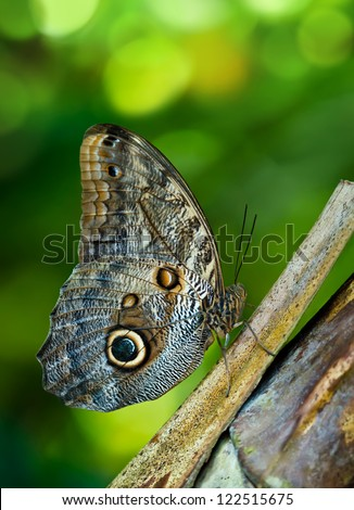 Owl butterfly (Caligo) is a large, tropical butterfly, named for eyespots on the underside of the lower wing. Natural green background with copy space.