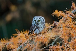 Owl hidden in the yellow larch tree. Bird with big yellow eyes. Boreal owl in the orange leave autumn forest in central Europe. Detail portrait of bird in the nature habitat, Russia.