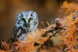 Owl hidden in the yellow orange larch tree. Bird with big yellow eyes. Boreal owl in the orange leave autumn forest in central Europe. Detail portrait of bird in the nature habitat, Germany.