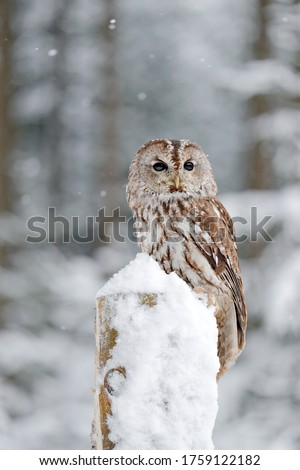 Owl in cold winter. Winter forest with Tawny Owl snow during winter, snowy forest in background, nature habitat. Wildlife scene from cold winter.