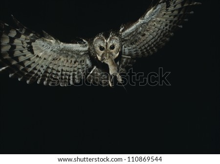 Stock Photo Owl in flight with a prey in its beak
