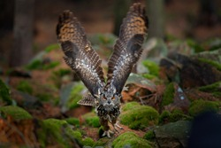 Owl in forest habitat, stone hill. Flying Eurasian Eagle Owl with open wings in forest habitat, Germany. Action wildlife scene from nature. Bird in autumn wood with stone.