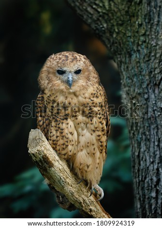 Owl in riverine dark forest. Pel's fishing owl, Scotopelia peli, perched on branch and waiting for prey. Large african nocturnal owl. Bird in nature habitat. One of the largest owl in the world. Foto stock ©