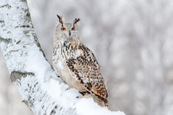 Owl in Siberia, Russia. Winter scene with Big Eastern Siberian Eagle Owl, Bubo bubo sibiricus, sitting in the birch tree with snow in the forest.