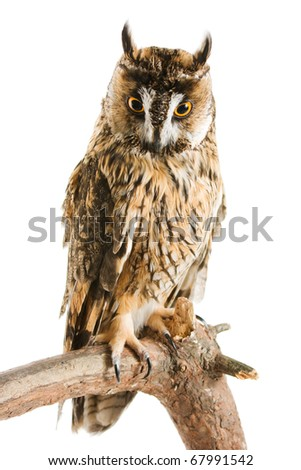 owl isolated on the white background