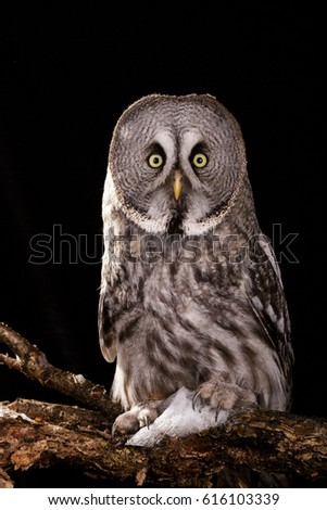 Owl isolated studio photo on black background great gray owl