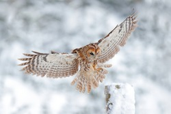 Owl landing on tree trunk. Winter forest with Tawny Owl snow during winter, snowy forest in background, nature habitat. Wildlife scene from cold winter.