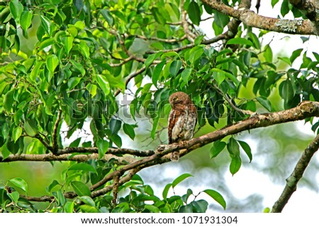 Owl on branch in nature, Thailand #1071931304