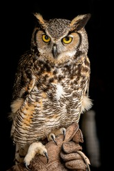 Owl on the black background