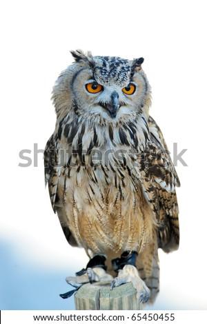 owl outdoor