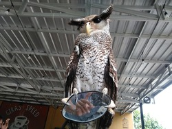 owl perched on the motorcycle mirror