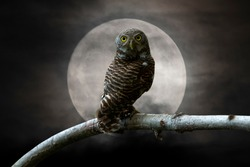 Owl perching on a branch and beautiful the moon background