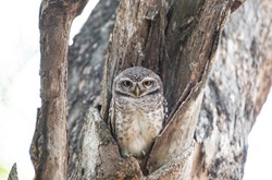 Owl Portrait - Little Owl or elf owl    in  tree close up