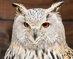 Owl portrait. Owl eyes looking