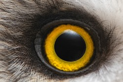 Owl's eye close-up, macro photo, Eye of the Short-eared Owl, Asio flammeus.