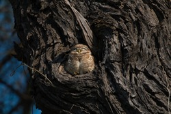 Owl sleeping in the hollow of a tree. location: Keoloadev National Park, Keoloadev National Park, Road, Bharatpur, India