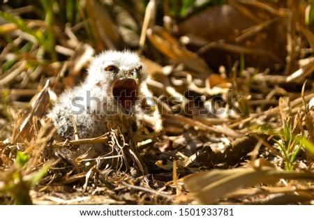 owl with open beak, fallen from the nest