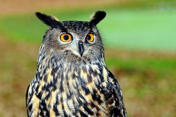 Owls are a group of birds that are members of the order Strigiformes. This bird is a bird of prey (carnivores, meat eaters) and is a nocturnal animal (nocturnal)