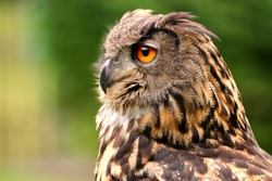 Owls are birds from the order Strigiformes, which includes about 200 species of mostly solitary and nocturnal birds. Owls hunt mostly small mammals, insects, and other birds. Photo of the animal world