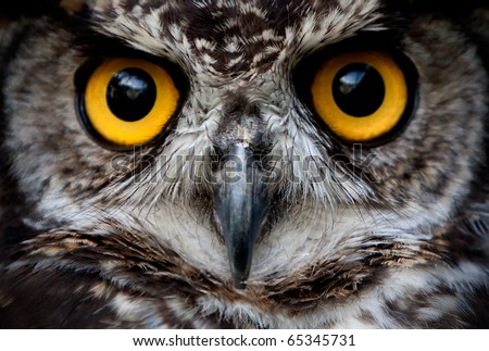 Stock Photo OWLS ARE THE ORDER STRIGIFORMES, CONSTITUTING 200 EXTANT BIRD OF PREY SPECIES MOST ARE SOLITARY AND NOCTURNAL