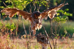 Owls catch prey for small lizard, animal closeup, Owls in hunt