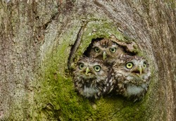 Owls in a tree trunk. Three Little Owls in the hollow of a tree.  Little Owl is the name of the species and not the size of the owl.  Latin name: Athene noctua.  Landscape. Horizontal. Space for copy.