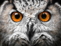 Owls Portrait. owl eyes. Portrait of a bird