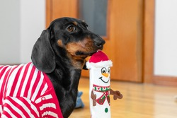 Owner bought new plaything for puppy to scratch growing teeth and take up the time of pet so that it does not make mess. Funny dachshund dog carries toy in shape of snowman.