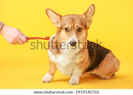 Owner brushing teeth of cute dog on color background ストックフォト ©