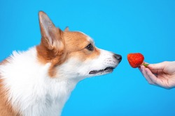 Owner gives cute welsh corgi pembroke or cardigan puppy dog to sniff a juicy ripe strawberry on blue background, copy space for advertising text