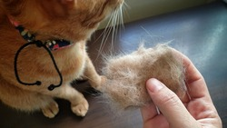 Owner hand holding pet fur clump with blurred young cat