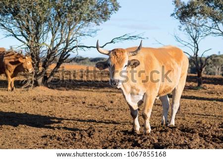 ox bull in spanish cattle farm