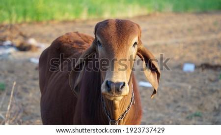Ox calf closeup. Brown Rathi species calf against camera. Ruminant cow calf wanders in field with long ears.