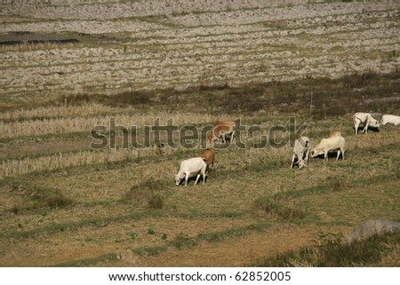 ox, cow herd in a harvested step rice field