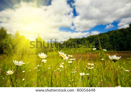 Ox-eye daisies in the meadow and deep blue sky lanscape