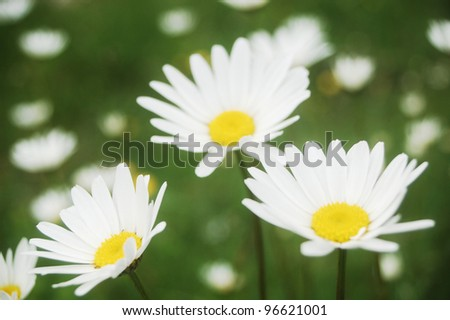 ox eye daisies on a pasture in the Carpathian Mountains