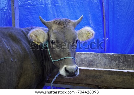 Ox in the barn before feast of the sacrifice. Festival of the sacrifice, Turkey #704428093