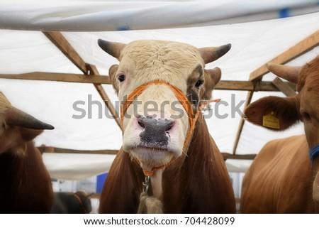 Ox in the barn before feast of the sacrifice. Festival of the sacrifice, Turkey #704428099