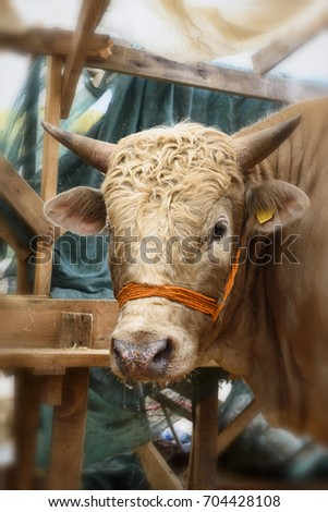 Ox in the barn before feast of the sacrifice. Festival of the sacrifice, Turkey #704428108