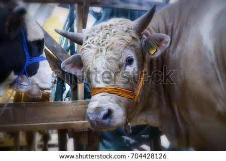 Ox in the barn before feast of the sacrifice. Festival of the sacrifice, Turkey #704428126