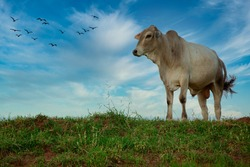 Ox of the Nellore breed in the pasture, on a beautiful sunset.