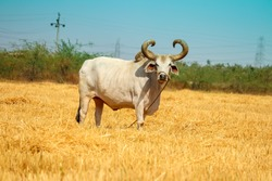 Ox on a farm, looking straight ahead.ox bull in Indian cattle farm, indian ox selective focus