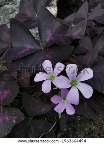 Oxalis purpurea they are purple leaves like butterfies are low shrubs and are commonly grown as ornamental plants they can be eaten as fresh vegetables Stock fotó ©