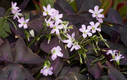 Oxalis triangularis purple flower and butterfly shape leaves. Beautiful plant in nature at botanical garden.