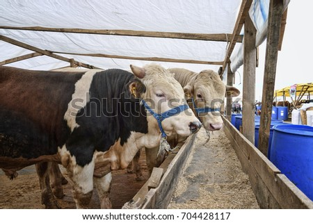 Oxen in the barn before feast of the sacrifice. Festival of the sacrifice, Turkey #704428117