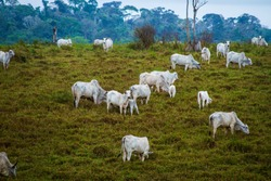 Oxen on pasture on deforested farm - Amazonia, Brazil