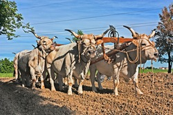 oxen with yoke that pull the plow - old agricultural work with bulls in the countryside of Emilia Romagna, Italy