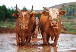 Oxen working on farmland