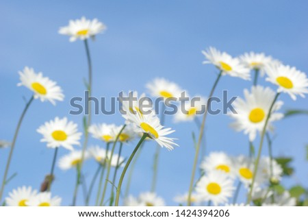 Oxeye daisy blue summer sky Stock foto ©